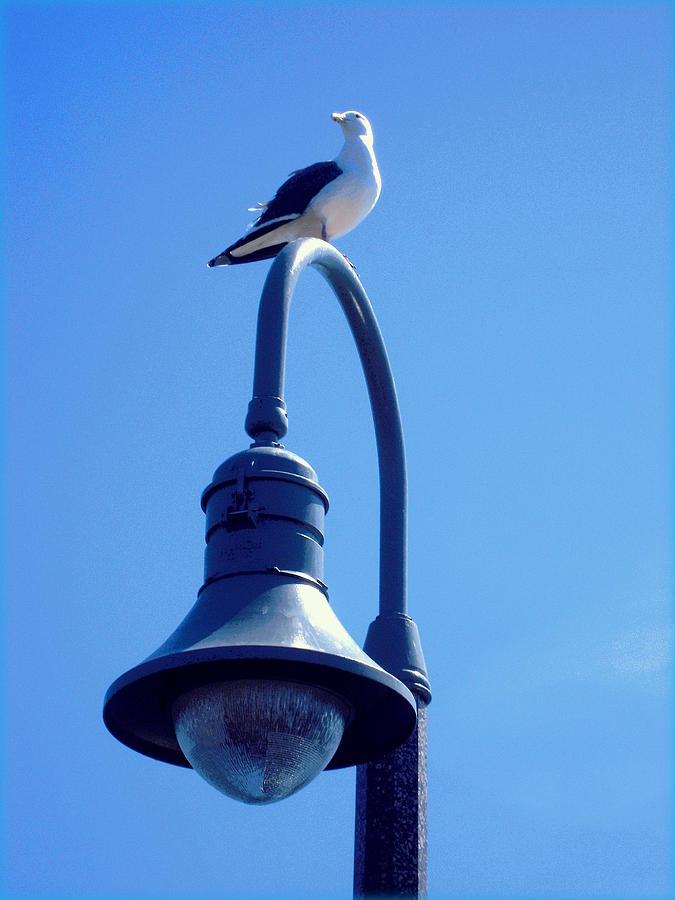 Gulls Photograph - San Clemente Sea Gull  by Don Struke