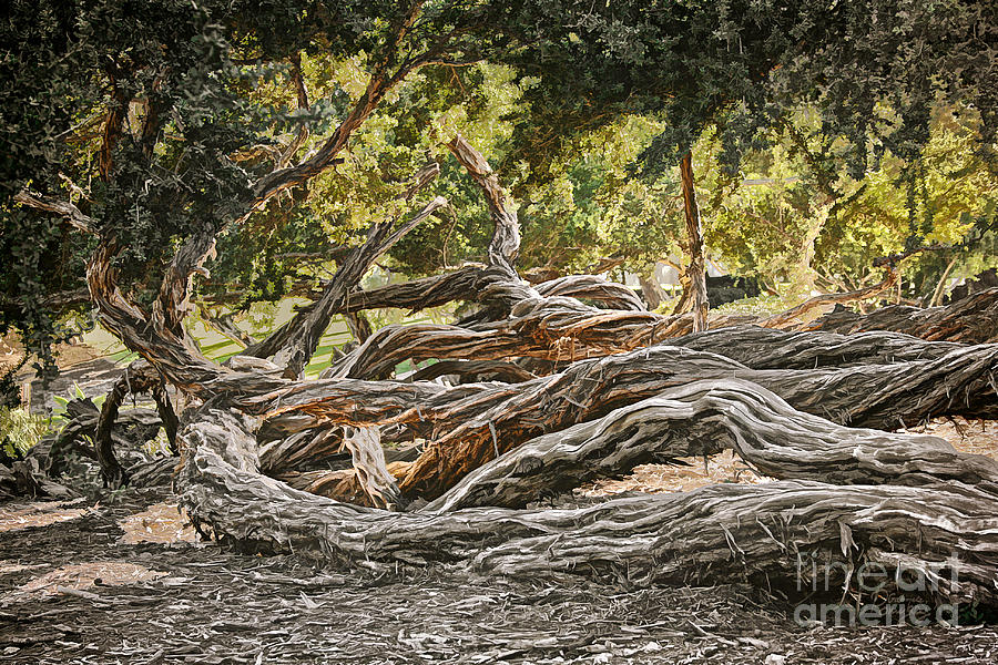 San Diego Gnarled Twisted Tree Trunks Photograph By