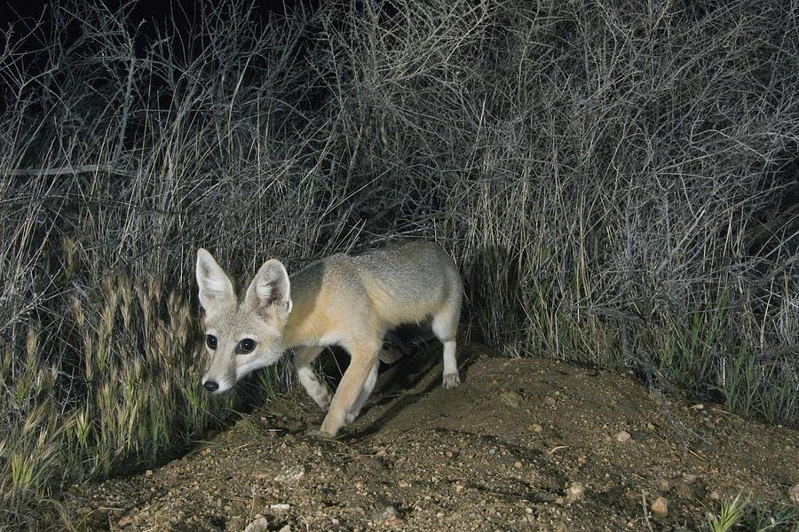 San Joaquin Kit Fox At Night Carrizo Photograph by Kevin Schafer