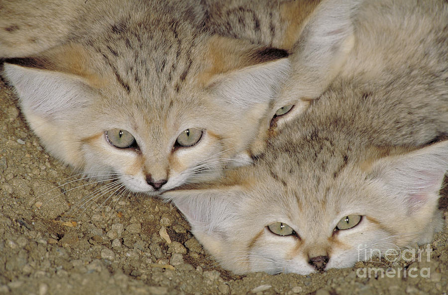 Horizontal Photograph - Sand Cat Felis Margarita by Art Wolfe