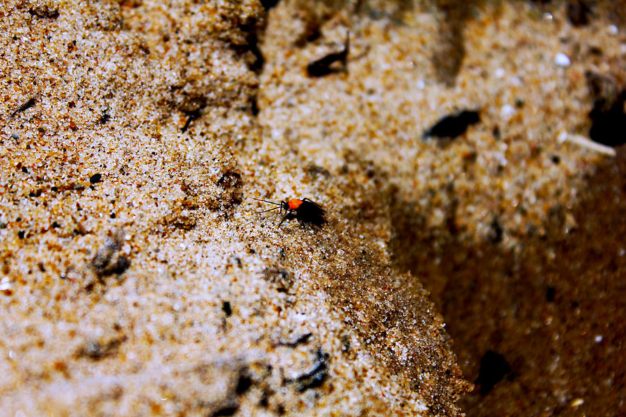 Bug Photograph - Sand Critter by Sheryl Burns