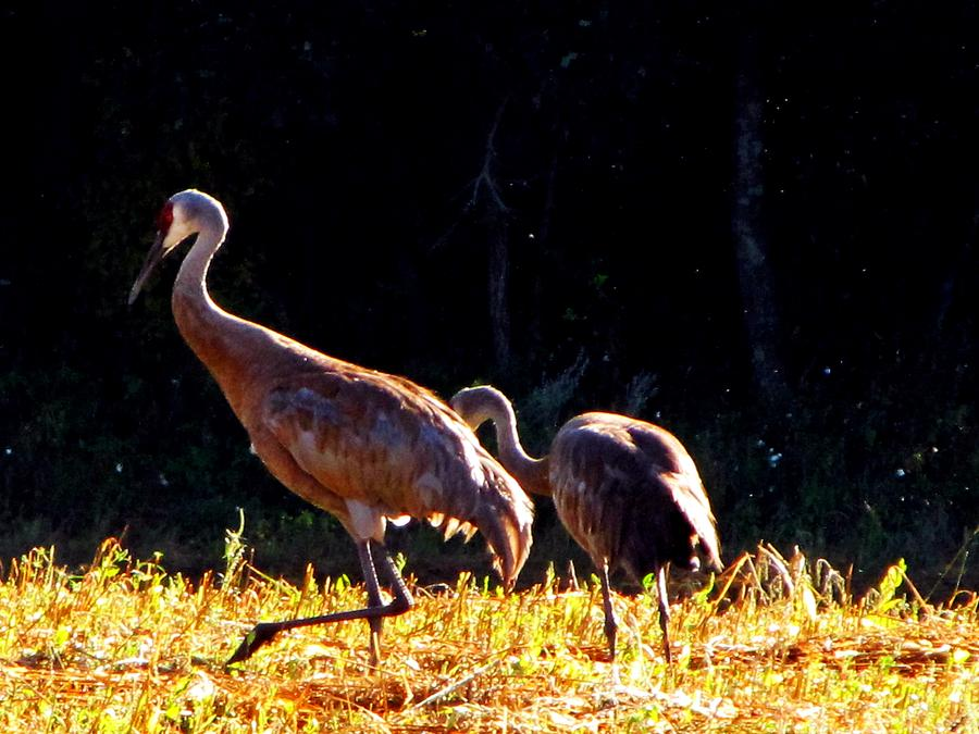 Waterfowl Painting - Sand Hill Crane  by Robert Nacke