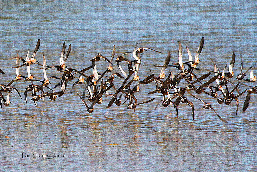 Arizona Photograph - Sand Pipers Arrive At The Grp by Tom Janca
