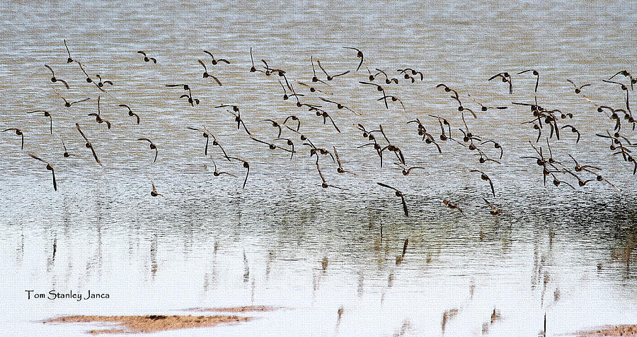 Grp Photograph - Sand Pipers In Flight by Tom Janca