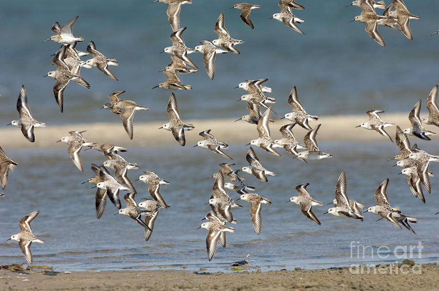 Animal Photograph - Sanderlings And Dunlins In Flight by Anthony Mercieca