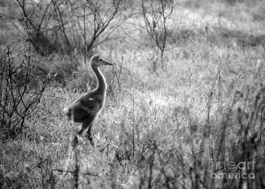 Sandhill Crane Photograph - Sandhill Chick In The Marsh - Black And White by Carol Groenen