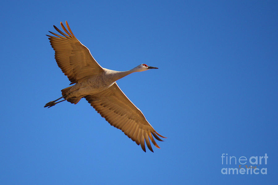 Sandhill Crane 7 Photograph By Roena King