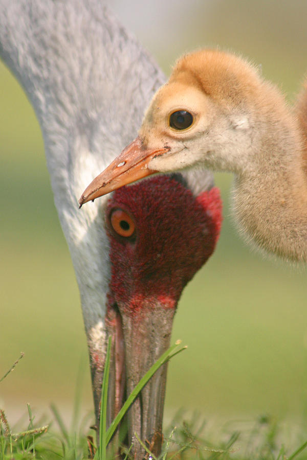 Sandhill Cranes Photograph - Sandhill Crane And Chick by Karen Lindquist