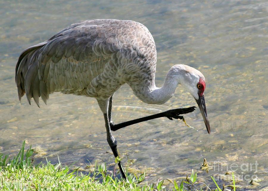 Amazing Photograph - Sandhill Crane Balancing On One Leg by Sabrina L Ryan