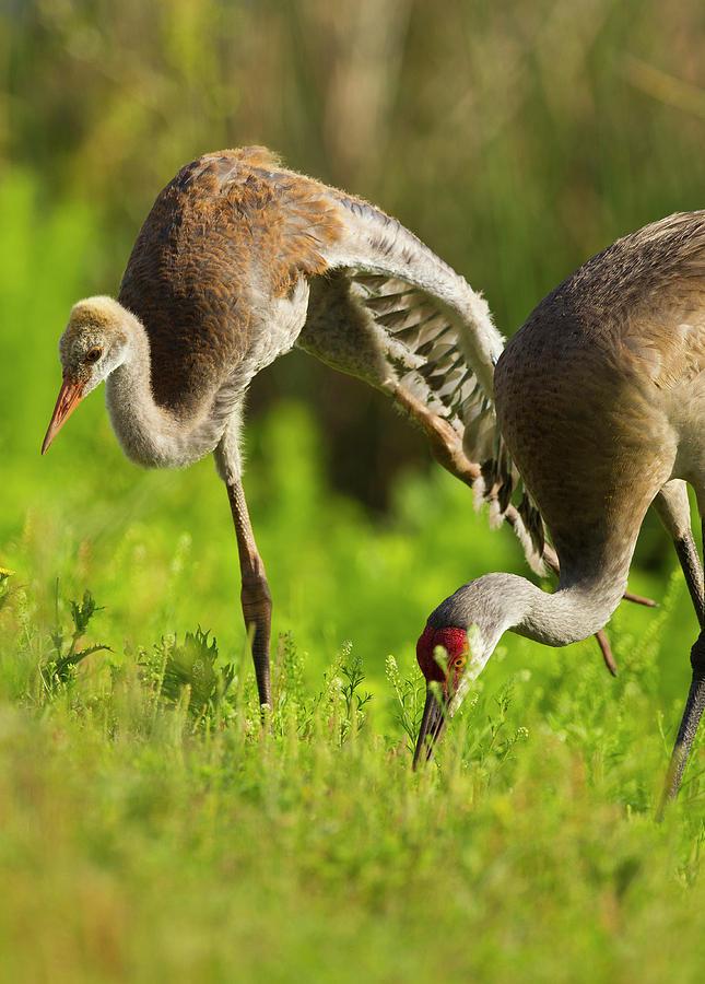 Bird Photograph - Sandhill Crane Chick Stretching by Maresa Pryor