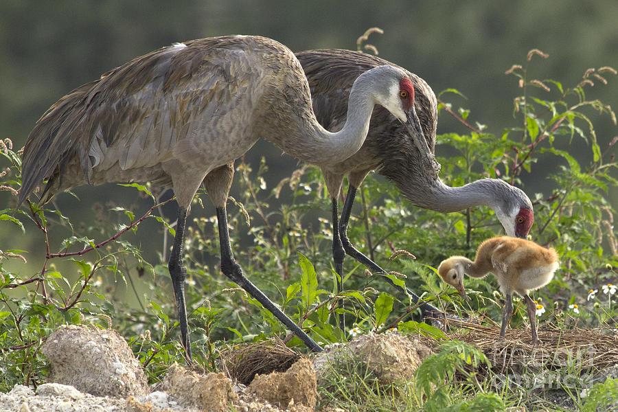 Sandhill Crane Family by Meg Rousher