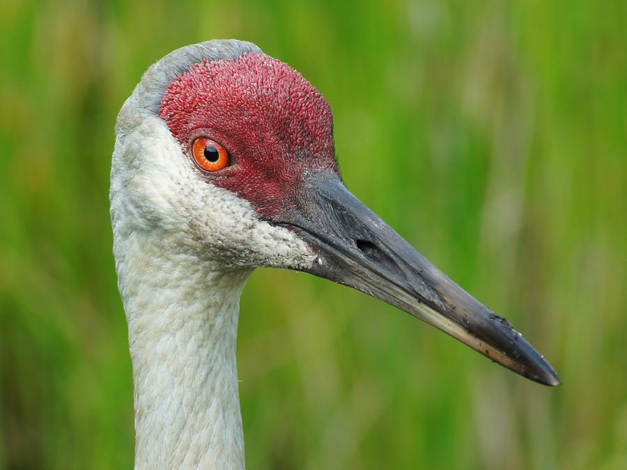 Sandhill Crane Photograph - Sandhill Crane Female Close Up by Lynda Dawson-Youngclaus