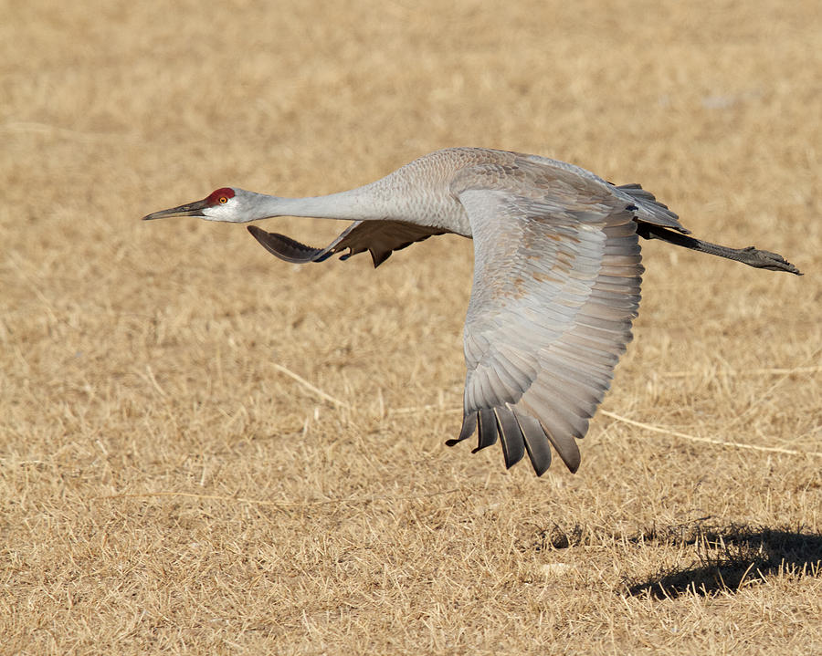 Sandhill Crane in Flight by Steve Kaye