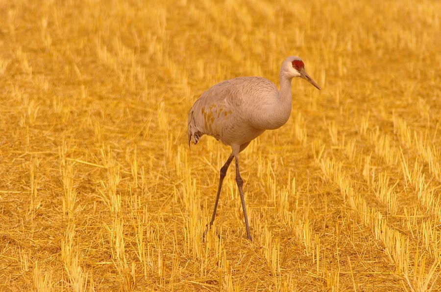 Birds Photograph - Sandhill Crane  by Jeff Swan