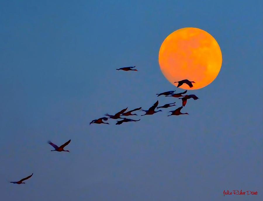 Sandhill Cranes Photograph - Sandhill Crane Migration by Julie Dant