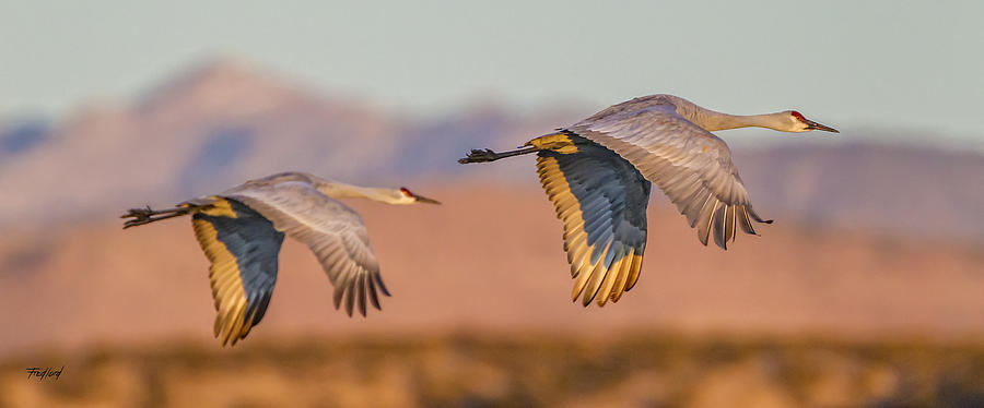 Birds Photograph - Sandhill Crane Pair by Fred J Lord