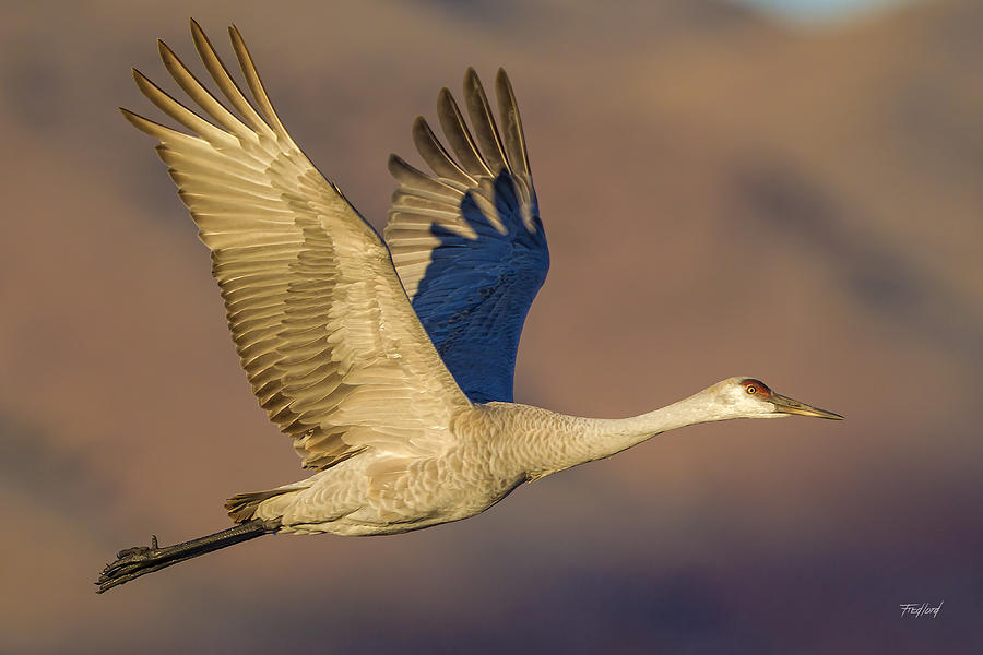 Crane Photograph - Sandhill Crane Young Adult by Fred J Lord