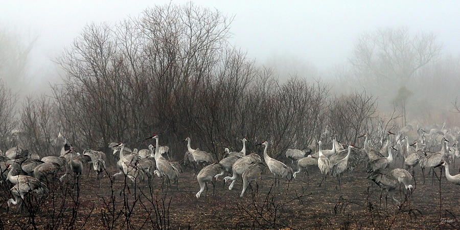 Sandhill Photograph - Sandhill Cranes In The Fog by Farol Tomson