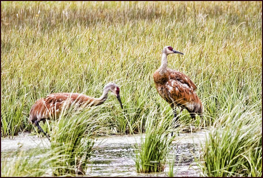 Sandhill Cranes by Karen Ulvestad