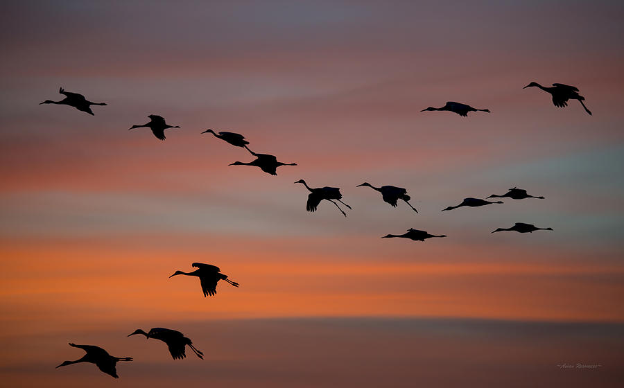 Sandhill Cranes Landing at Sunset by Avian Resources