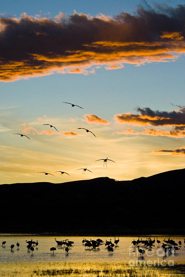 Nature Photograph - Sandhill Cranes In New Mexico by William H Mullins