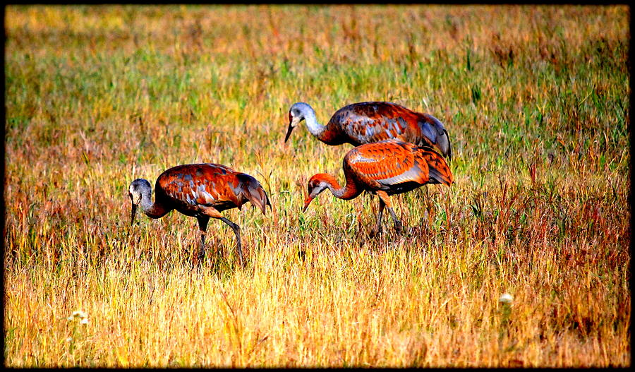 Bird Photograph - Sandhill Family by Kathy Sampson