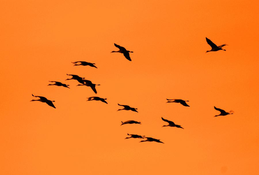 Sandhill Cranes Photograph - Sandhill Sunrise by T C Brown