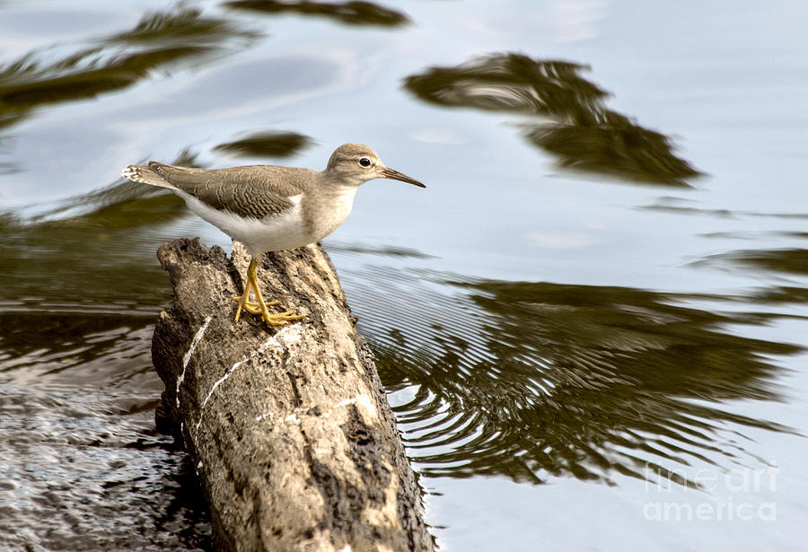 Sandpiper on Log In Water by Ilene Hoffman