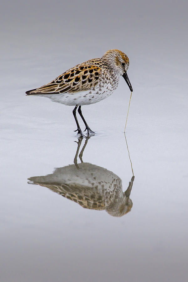Birds Photograph - Sandpiper Pull by Sonya Lang