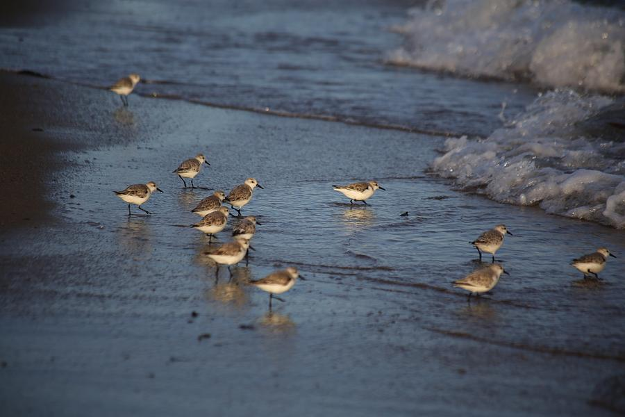 Sandpipers 7 Photograph