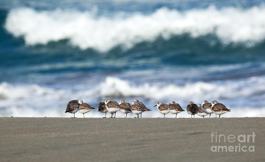 Sandpipers Keeping Warm on a Very Cold Day at the Beach by Michelle Constantine