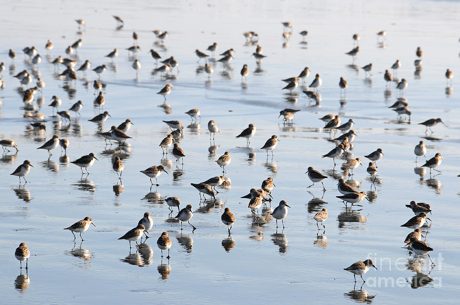 Sandpipers on the Seashore by Sarah Schroder