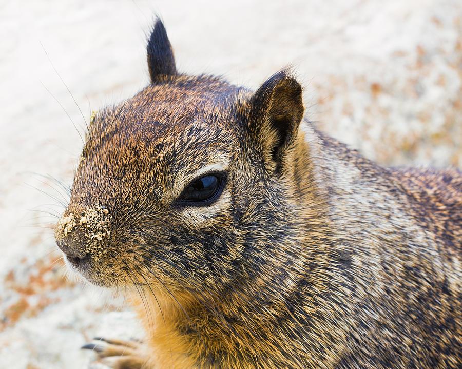 California Ground Squirrel Photograph - Sandy Nose Squirrel by Priya Ghose