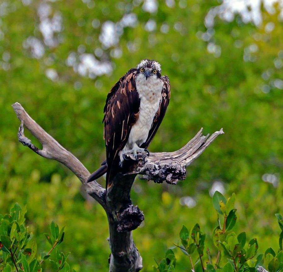 Sanibel Osprey Photograph