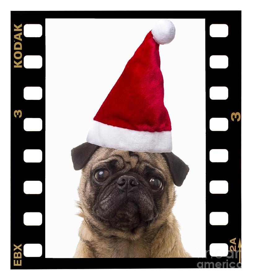 Pug Photograph - Santa Pug - Canine Christmas by Edward Fielding
