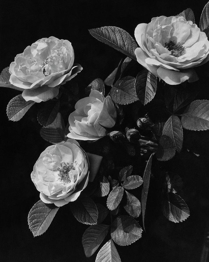 Sarah Van Fleet Variety Of Roses Photograph by J. Horace McFarland