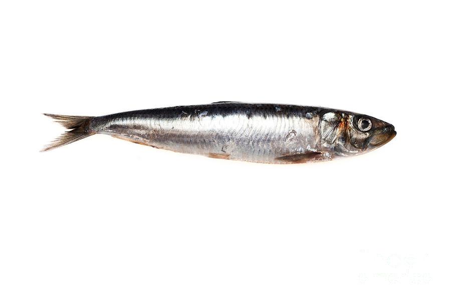 Sardine Photograph By Ei Katsumata