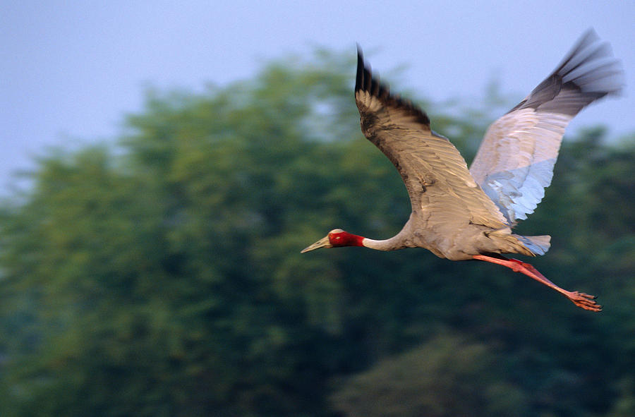 Sarus Crane, Grus Antigone, In Flight, Keoladeo National Park, Rajasthan,  India by David Courtenay