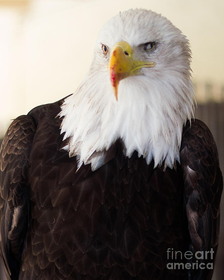 Eagle Photograph - Sasiated Bird by Patty Descalzi