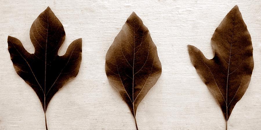 Sassafras Leaf Photograph - Sassafras Leaves In Sepia by Michelle Calkins