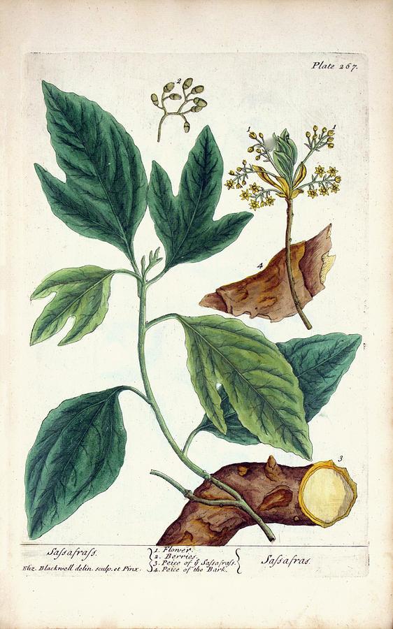 Sassafras Photograph - Sassafras Plant by National Library Of Medicine