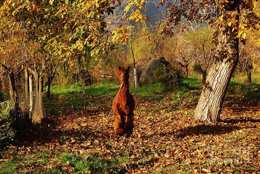Alpaca Photograph - Sassy Alpaca by Susan Hernandez