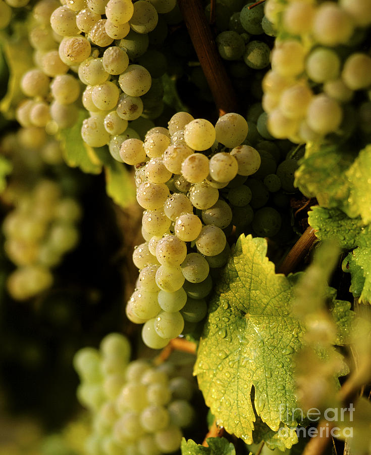 Agronomy Photograph - Sauvignon Blanc Cluster by Craig Lovell