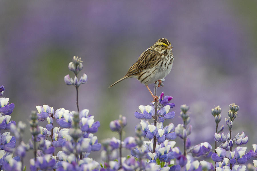Savannah Sparrow And Nootka Lupine Photograph by Ingo Arndt