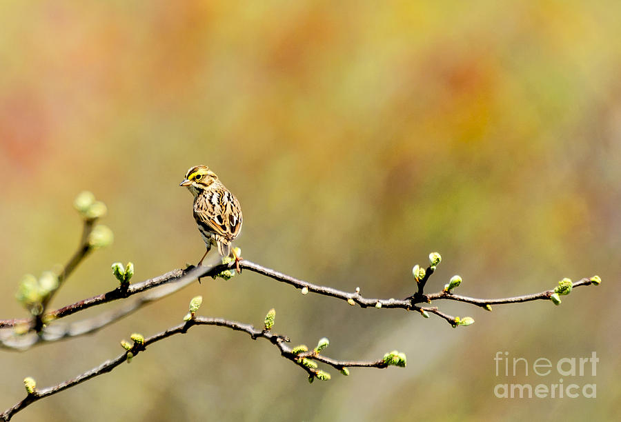 Savannah Sparrow Impression by Ilene Hoffman