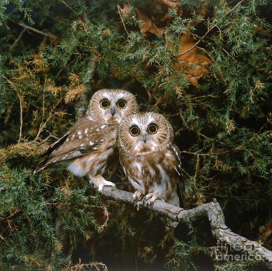 Fauna Photograph - Saw-whet Owls by G Ronald Austing