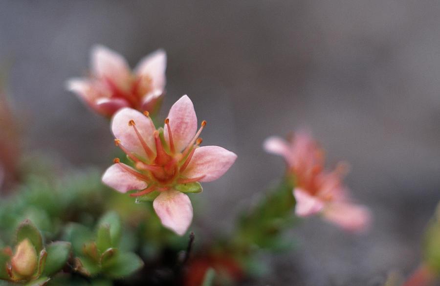 Flower Photograph - Saxifraga Nathorstii Flowers by Simon Fraser/science Photo Library