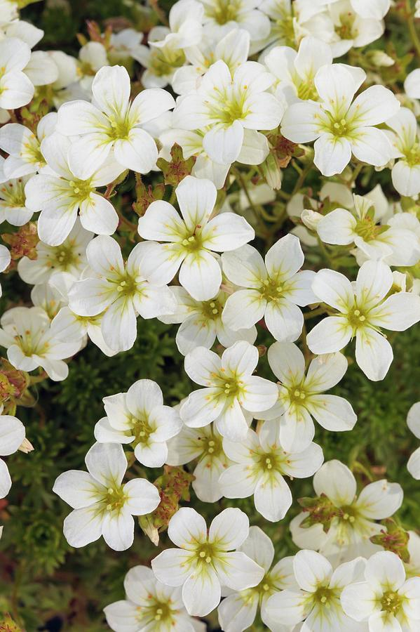 Alpine Photograph - Saxifraga white Star by Geoff Kidd/science Photo Library