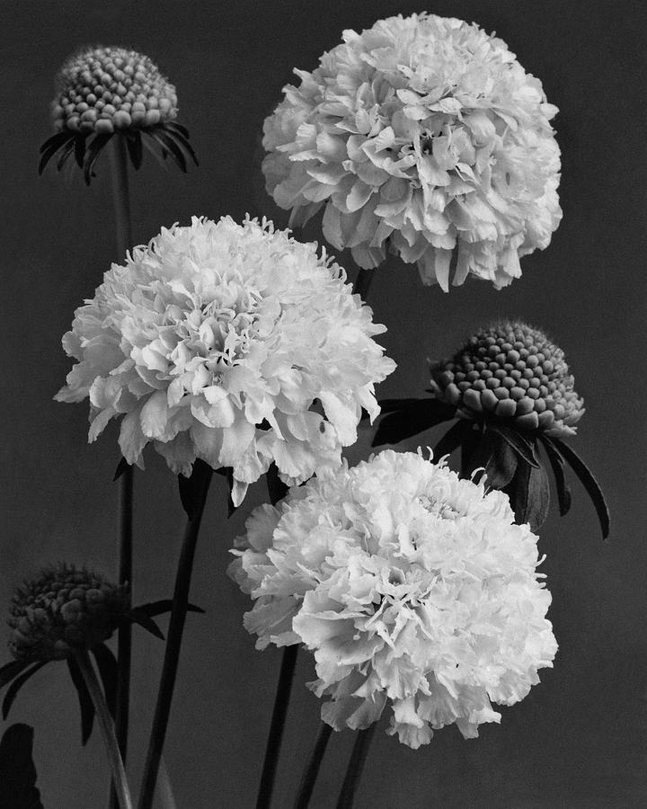 Scabiosa Peace Flowers Photograph by J. Horace McFarland