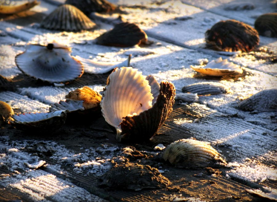 Scallops Photograph - Half Shell On Ice by Karen Wiles